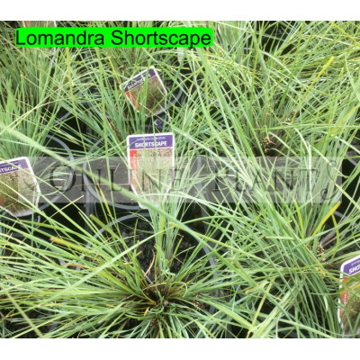 Lomandra Shortscape