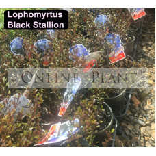 Lophomyrtus Black Stallion