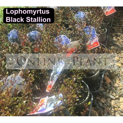Lophomyrtus Black Stallion