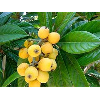 Loquat Grafted