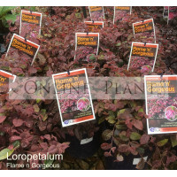 Loropetalum Flame n Gorgeous