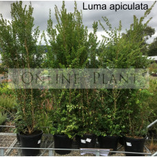 Luma Apiculata, Myrtus Luma