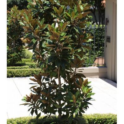 Magnolia Grandiflora Exmouth Bull Bay Magnolia