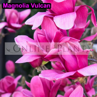 Magnolia Vulcan