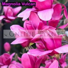 Magnolia Tree Plants For Sale Online Plants Melbourne Australia