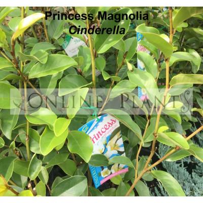 Magnolia Princess Range, Cinderella TM