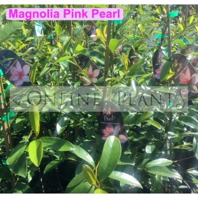 Magnolia Pink Pearl