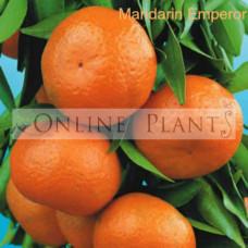 Citrus Tree Mandarin Emperor