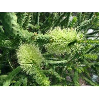 Melaleuca Diosmifolia