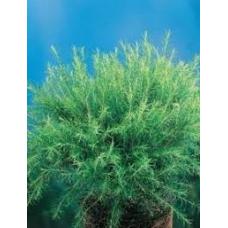 Melaleuca Green Globe