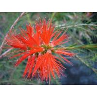 Melaleuca Laterita, Robin Redbreast