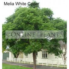 Melia Azedarach White Cedar