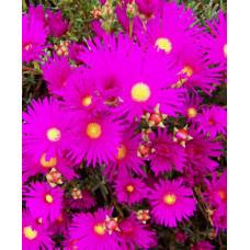 Mesembryanthemum Pigface Candy Pink