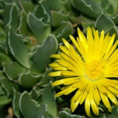 Mesembryanthemum Pigface Gold