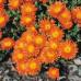 Mesembryanthemum Pigface Orange
