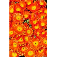 Mesembryanthemum Pigface Orange