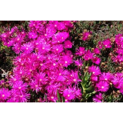 Mesembryanthemum Pigface Pink