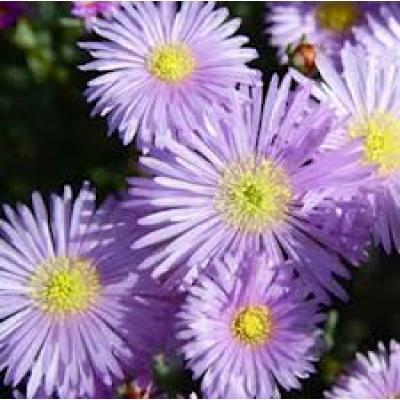 Mesembryanthemum Pigface Starry Mauve