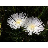 Mesembryanthemum Pigface White