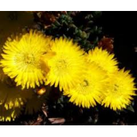 Mesembryanthemum Pigface Yellow