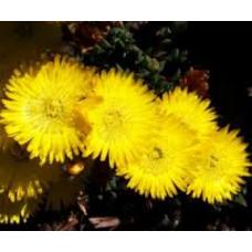Mesembryanthemum Pigface Yellow