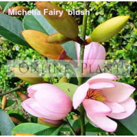 Michelia Fairy Blush Magnolia