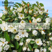 Michelia Fairy Cream Magnolia