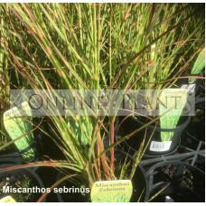 Miscanthos zebrinus Zebra Grass