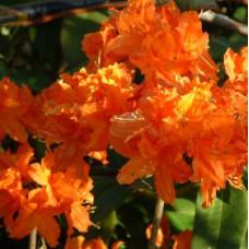Mollis Azalea, Early Orange