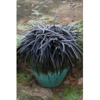 Ophiopogon Nigra Mondo Grass Black