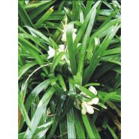 Ophiopogon Japonicus Green Mondo Grass