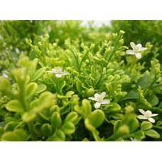 Murraya Paniculata dwarf form, Min a min