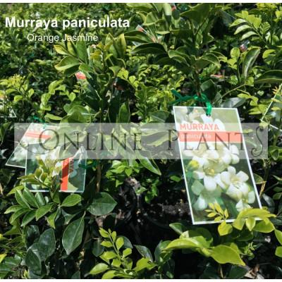 Murraya Paniculata Orange Jasmine