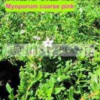 Myoporum Parvifolium coarse pink