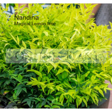 Nandina Magical LEMON LIME®  Nandina domestica alba 'Lemlim'