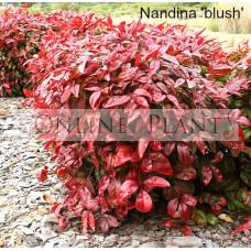 Nandina Blush