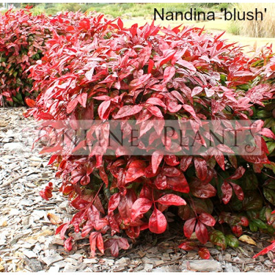 Nandina Blush Sacred Bamboo