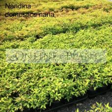 Nandina Domestica Nana