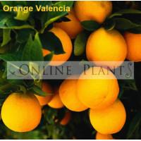 Citrus tree Orange Valenica