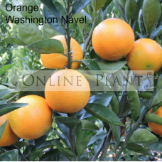 Citrus tree Orange Washinton Navel