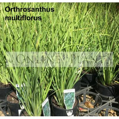 Orthrosanthus Multiflorus Morning Flag