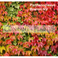 Parthenocissus Tricuspidata, Boston Ivy
