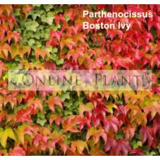 Parthenocissus Tricuspidata, Boston Ivy