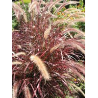 Pennisetum Advena Moulin Rouge