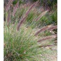 Pennisetum Setaceum Swamp Foxtail