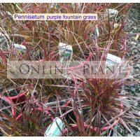 Pennisetum Dwarf Purple Fountain Grass