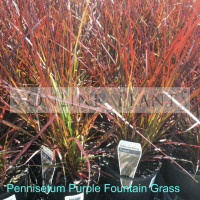 Pennisetum Purple Foxtail Grass