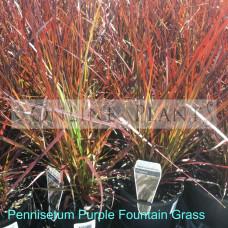 Pennisetum Purple Foxtail Grass