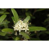 Phebalium Squamulosum Argenteum