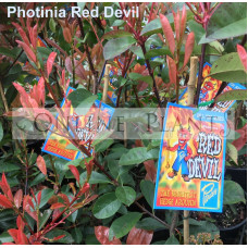 Photinia Red Devil
